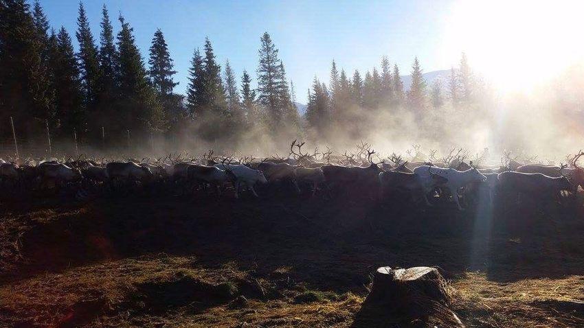 Reindrift Reindeer sunset