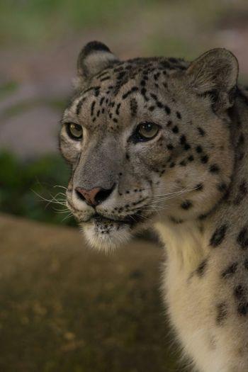 Félidés -Uncia Uncia Panthère Des Neiges Panthera  Félin  Bioparc Doué La Fontaine Zoo Animals ASIA Asiatique