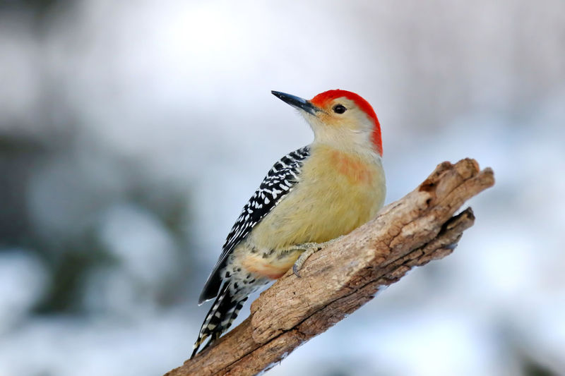 Red-Bellied Woodpecker Animal Themes Animal Wildlife Animals In The Wild Bird Close-up Day EyeEm Nature Lover Focus On Foreground Male Nature No People One Animal Outdoors Perching Red-bellied Woodpecker