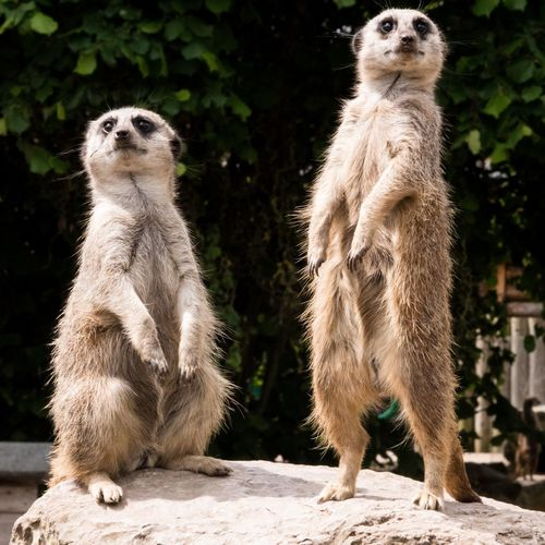 EyeEm Selects Meerkat Togetherness Close-up Zoo Rearing Up Animals In Captivity