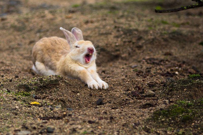 Animal Themes Mammal One Animal Rabbit Domestic Animals Animals In The Wild Japan Photography Outdoors Okunojima Rabbit Island Rabbit Portrait