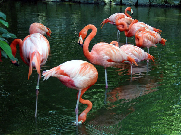 Colorful Exotic Exotic Birds Flamingoes In Lagoon Flamingos Flamingos In Water Flamingos Up Close Tropical Birds Tropical Climate