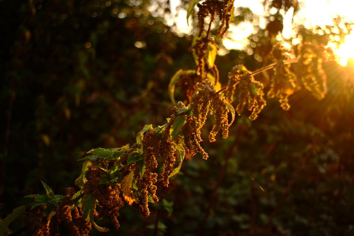 Herbst // autumn // fall. Photograph © 2016 Kay-Christian Heine Autumn Colors Back Lit Backlit Branch Close-up Dew Early Morning Fall Colors Flare Focus On Foreground Golden Hour Green Color Leaf Leaves Lens Flare Lensflare Nature Outdoors Plant Selective Focus Stinging Nettles Sunbeams Sunlight Sunrise Tranquility