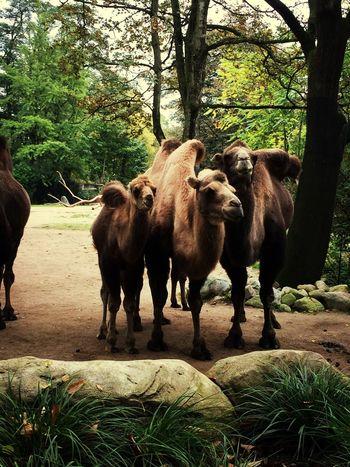 Hagenbecks Tierpark Hamburg  Camel Love