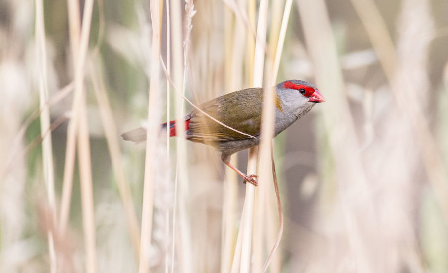 Red Browed Finch Australian Birds In The Wild Animal Themes Animal Wildlife Animals In The Wild Beauty In Nature Bird Close-up Day Nature No People One Animal Outdoors Perching