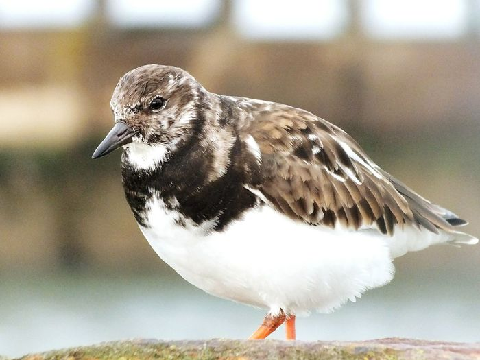 Bird Close-up Walking Around Taking Pictures Whitby North Yorkshire Whitby Harbour Whitby Pier Turnstone Bird Photography Birds Of EyeEm  Birds_collection