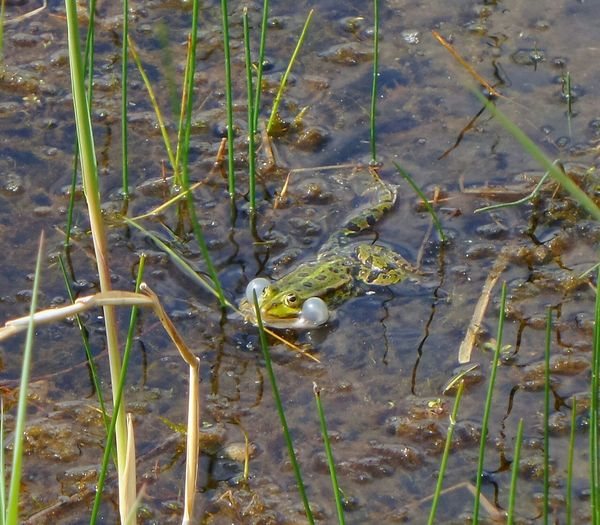 Brulkikker Frog Water