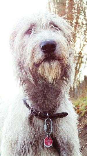 Animal Themes Dog Domestic Animals Pets Outdoors How Is The Weather Today? Dogslife Dogwood Bokeh Eyes Are Soul Reflectiondogs of autumn The Places I've Been And The Things I've Seen November2016 Autumn 2016 Irish Wolfhound Cearnaigh