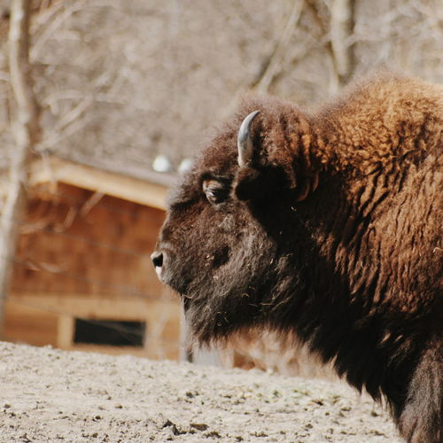 American Bison At Zoo