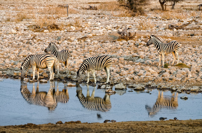 Burchell's zebras at a watering hole during sunset Animal Photography Animals Animals In The Wild Drinking Equus Mammal Nature's Diversities Safari Safari Animals Watering Hole Wildlife Wildlife Photography Zebra Travel Waterhole Landscapes With Whitewall Winners Landscapes Feel The Journey