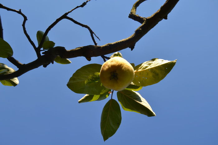 Autumn Beauty In Nature Blossom Blue Botany Branch Clear Sky Close-up Day Flower Focus Fragility Freshness Green Color Growing Growth Leaf Low Angle View Nature No People Quince Scenics Sky Yellow