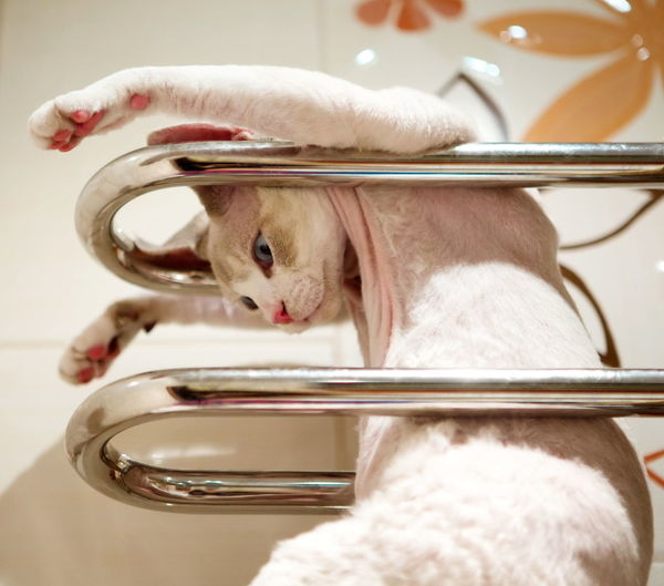 warm and comfy ;) Always Be Cozy Cat Close-up Comfortable Devonrex FUNNY ANIMALS Hanging Pets