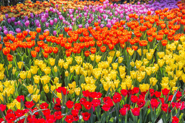 Tulip flower with green leaf background in tulip field at winter or spring day for postcard beauty decoration and agriculture concept design Tulip Tulips Background Flower White Color Colorful Bright Beautiful Nature Beauty Green Bouquet Plant Summer Yellow Set Springtime Season  Garden Freshness Growth Blossom Flora Vibrant Petal Bloom Purple Red Sunlight Floral Closeup Spring Pink Leaf Studio Nobody Stem HEAD Gift Romantic Field May Romance Botany Still Grow Vegetation Fragility Flowering Plant Multi Colored Beauty In Nature Vulnerability  Full Frame Backgrounds Flower Head Inflorescence Day Abundance Flowerbed No People Outdoors