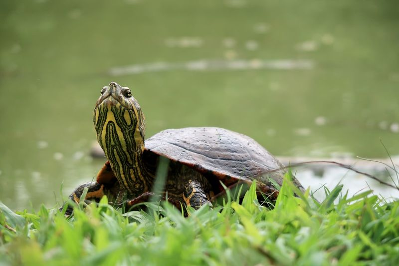 Turtle Animal Themes Animal Animal Wildlife Animals In The Wild Reptile Turtle One Animal Grass