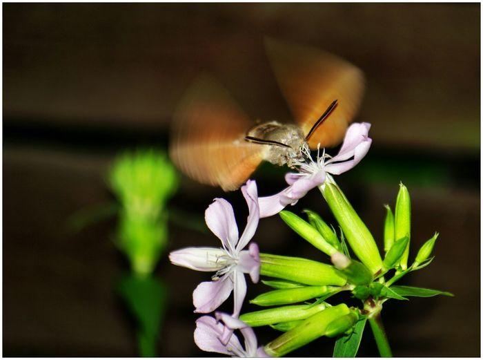 EyeEm Nature Lover Macro_collection Macroclique For You ;-) ein taubenschwänzchen umschwirrt die blüten vom seifenkraut