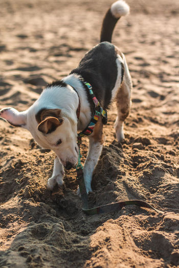 First time on a beach One Animal Mammal Domestic Animals Dog Canine Domestic Pets Vertebrate Beach Seaside Playing Dogs Puppy Ears Happy Jumping Looking At Camera Animal Themes Animal Land Sand Collar Pet Collar No People Nature Looking Day Selective Focus