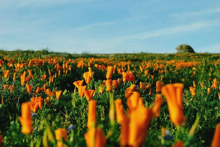 Field Flower Nature Plant Agriculture Poppy Beauty In Nature No People Summer Tranquility Close-up