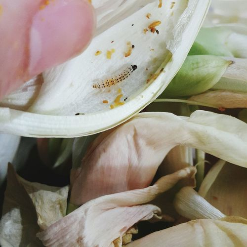 Food No People Healthy Eating Freshness Close-up Day Pedicide Free ปลอดสารพิษ หนอน ดอกแค Sesbania Grandiflora Larva  Worm