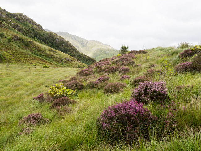 Scottish Heather on the Glenfinnan Viaduct Trail Glenfinnan Viaduct Trail Scotland Beauty In Nature Day Glenfinnan Grass Heather Highlands Landscape Lush Mountain Nature No People Outdoors Plant Purple Scenics Sky Tranquility