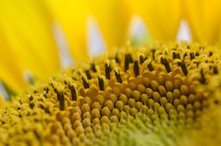 sunflower burns Burns Beach Close-up Flower Flower Head Macro Nature Outdoors Sonneblume Sunflower Yellow