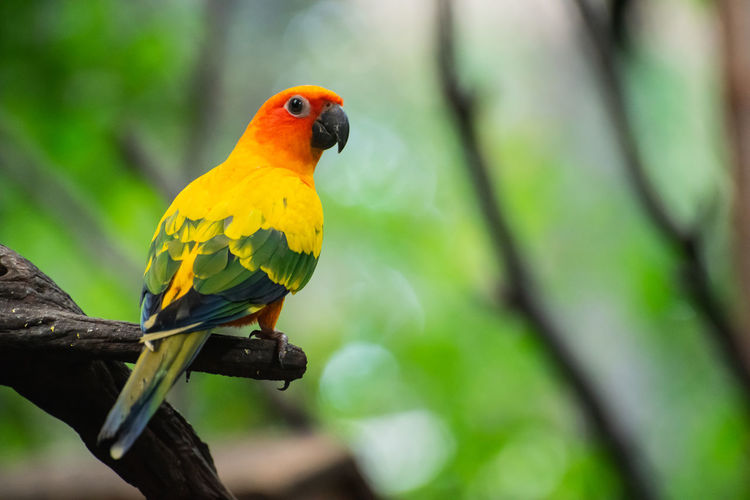 Conure Parrot Bird Sun Animal Orange Green Exotic Birds Wildlife Pet Tropical Nature Feather  Perch Wild Beak Plumage Yellow Colorful Beautiful Branch Color Cute Love Background Red Aratinga Gold Small Avian Beauty Pretty Group Natural Solstitialis Zoo Parakeet Wing Nine