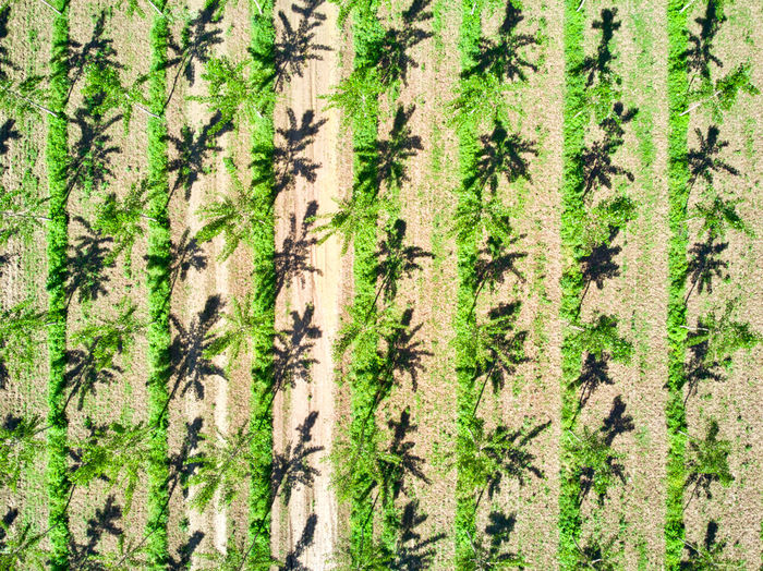Poplar trees plantation (pulp for paper making) From Above  Drone  Looking Down High Angle View Tree Poplar Agriculture Field Green Color Day Daylight Vertical Lines Tree Line Intensive No One Nobody No People Backgrounds Repetition Plant Growth Nature Full Frame Pattern Land Beauty In Nature Tree Trunk Trunk Close-up Outdoors Forest