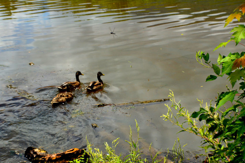 Animal Family Animal Themes Beauty In Nature Caryville Tennessee Cove Lake State Park Day Duck Lake Nature No People Outdoors Reflection Rippled Water Wildlife Dragonfly_of_the_day Color Palette