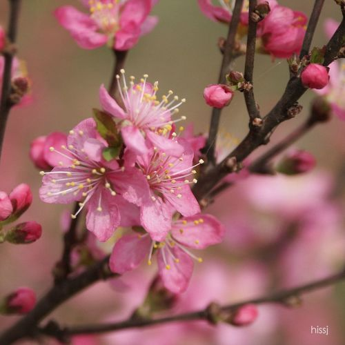 _Prunus japonica_ ニワウメ oriental bush cherry Blossom Plants And Flowers Nature Japanese Bush Cherry