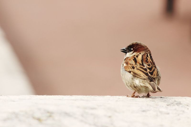 Sparrow Bird Animal Small Cute