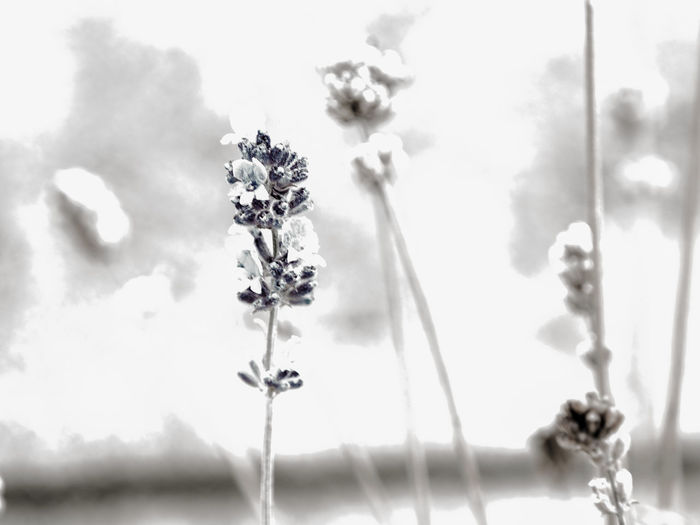 lavender Beauty In Nature Close-up Day Flower Flower Head Flowering Plant Focus On Foreground Fragility Freshness Growth Nature No People Outdoors Petal Plant Plant Stem Selective Focus Sky Vulnerability  White Color