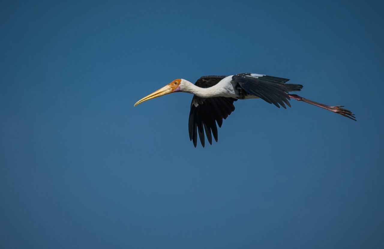 animal wildlife, animals in the wild, vertebrate, bird, sky, animal themes, animal, copy space, clear sky, one animal, flying, low angle view, no people, blue, spread wings, nature, day, mid-air, stork, beak