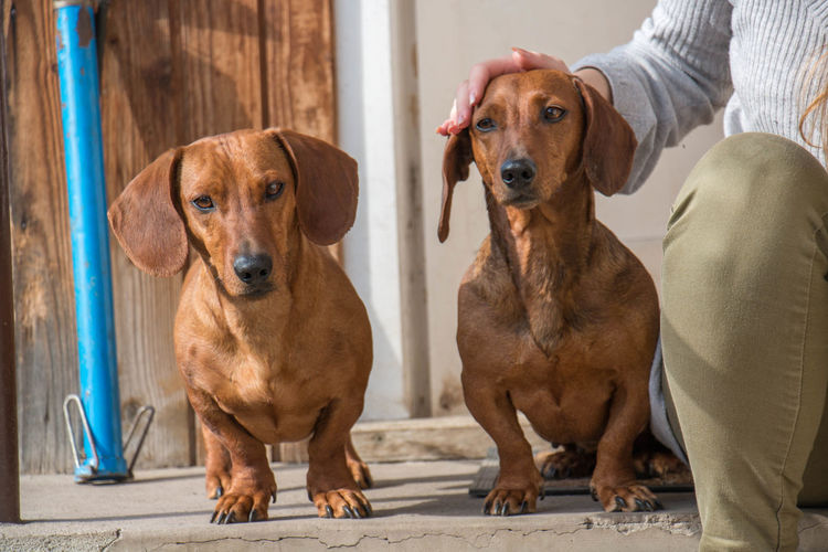 Doxie Dachshund Animal Themes Day Dog Domestic Animals Mammal No People Pets Canine Domestic Portrait One Animal Sitting Looking At Camera People Brown Vertebrate Looking