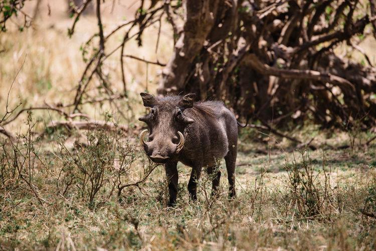 Wild boar grass
