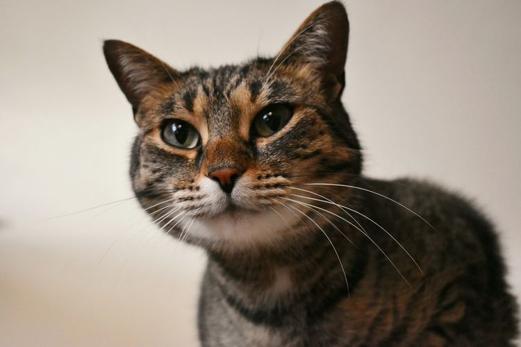 Close-up portrait of a cat over white background