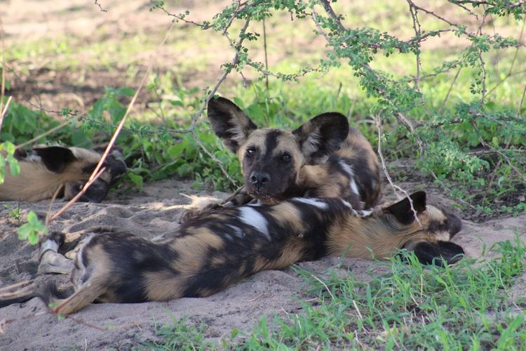 African Wild Dogs Relaxing On Field
