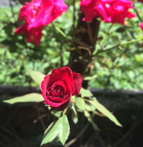 First Eyeem Photo rose flower red First Eyeem Photo