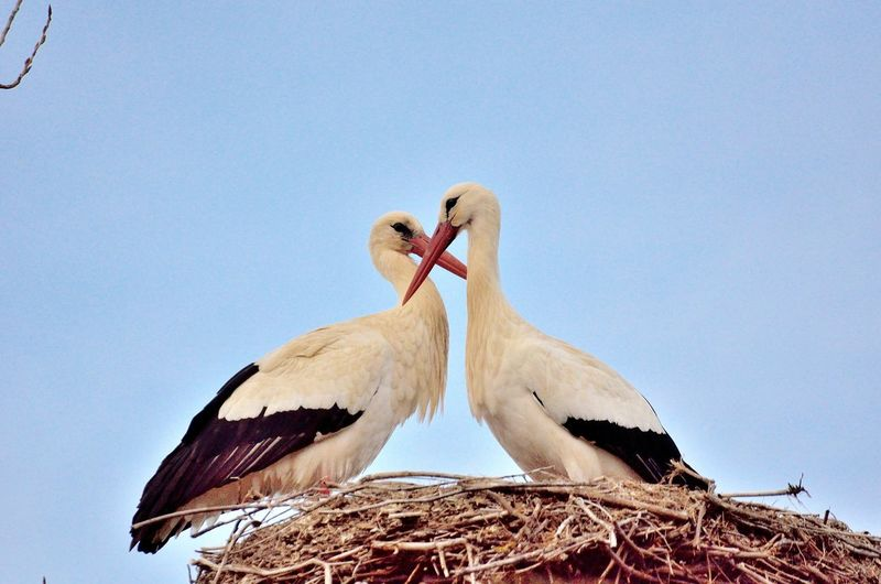 Low angle view of white storks perching on nest against clear sky