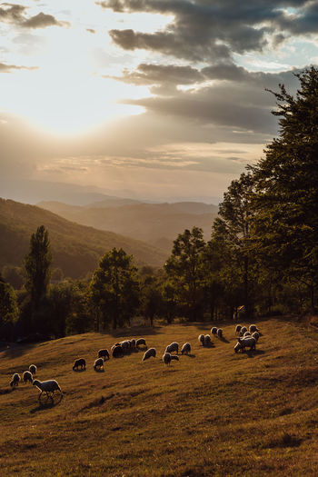 Sheeps in sunset Sky Cloud - Sky Group Of Animals Beauty In Nature Land Large Group Of Animals Field Sunset Sheep Livestock Herbivorous Herd Tranquil Scene Nature Outdoors Landscape Mountain Countryside EyeEm Nature Lover