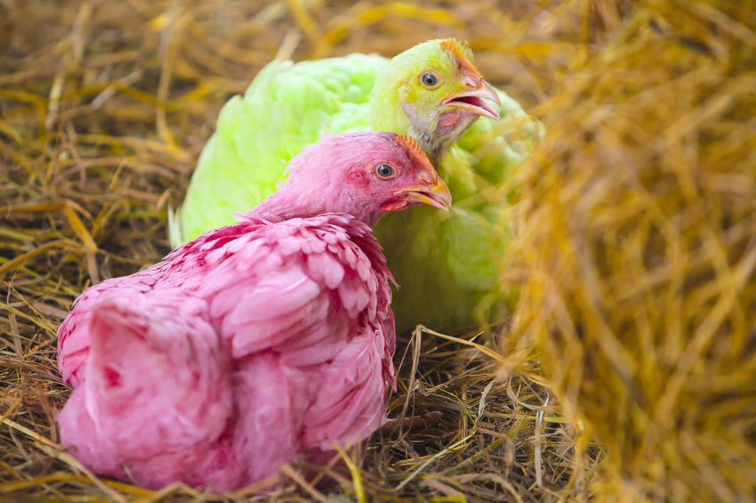 The young chicken with its unique pink and green color feels resting on the hay. Animal Themes Bird Chicken - Bird Close-up Day Domestic Animals Livestock Nature No People Outdoors