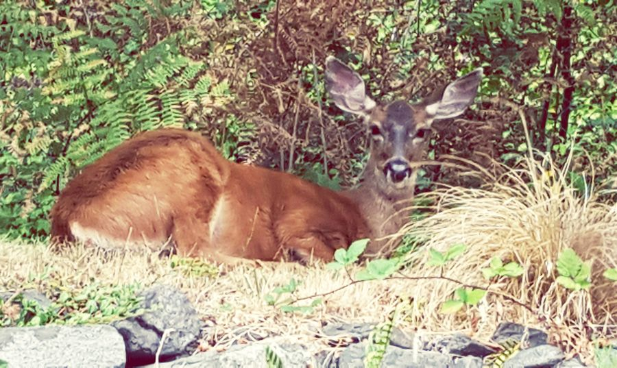 One afternoon, a Doe stopped by to rest in my backyard. KimberlyJTilley