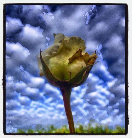 The Last Rose Of Autumn