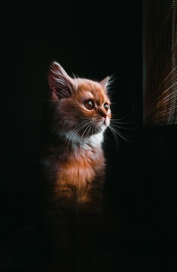 Domestic Cat One Animal Pets Portrait Animal Themes Looking At Camera Night Cute Indoors  Christmas Domestic Animals No People Close-up Black Background Mammal Lightandshadow Beauty Shadow Window Light Catportrait EyeEm Selects Indoors  Cats Of EyeEm Catlovers