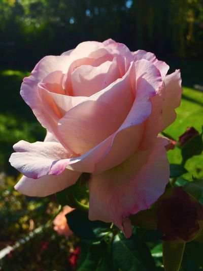 Flower Nature Beauty In Nature Plant Rose - Flower Freshness Day Rosé Green Garden Relax In The Garden Autumn Rose Garden Rose🌹 Roses World 🌹❤️🌹
