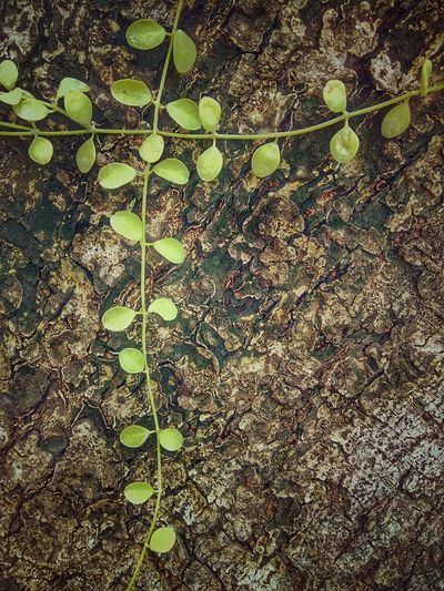 Ivy Creeper Creeper Plant Ivy Plant Ivy Photography Creeper Photography Color Of Nature Nature Color Nature Nature Photography Nature Collection Beauty Of Nature Nature Art Nature Art Photography Ivy Collection Creeper Collection Ivy On Tree Creeper On A Tree