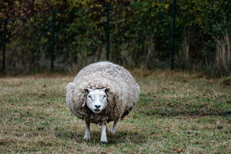 Fujifilm Fujifilm_xseries FUJIFILM X-T2 Mammal Animal Animal Themes Livestock Domestic Animals Domestic Pets Day No People Nature Sheep Herbivorous Wool Woolly Funny Fat