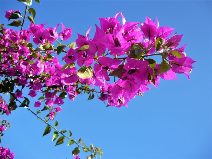 Beauty In Nature Blooming Blue Bougainvillea Branch Clear Sky Close-up Day Flower Flower Head Fragility Freshness Growth Leaf Low Angle View Nature No People Outdoors Petal Pink Color Sky Springtime Tree