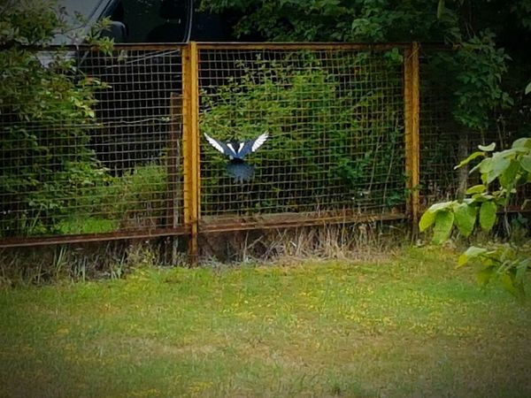 Schacki die Elster im Abflug! Pica Pica Schackelster Elster Abflug Flying Bird Magpie Bird Photography Vogel Birds Of EyeEm  Need For Speed Feel The Journey
