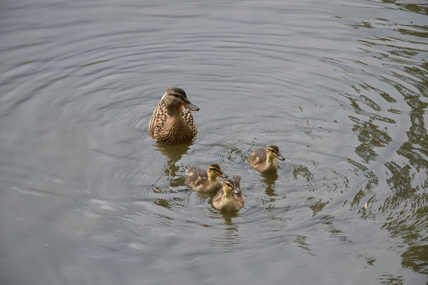 Animal Family Animal Themes Animals In The Wild Bird Duck Duck Family Lake Nature No People Swimming Swimming Ducks Togetherness Water Water Bird Water Surface Wild Ducks And Puppies Wildlife Young Animal Zoology