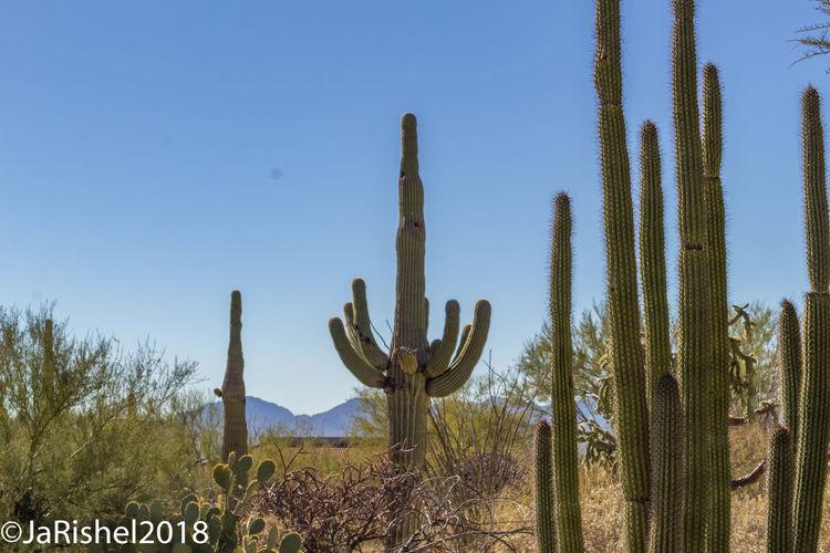 Cactus in desert against clear sky
