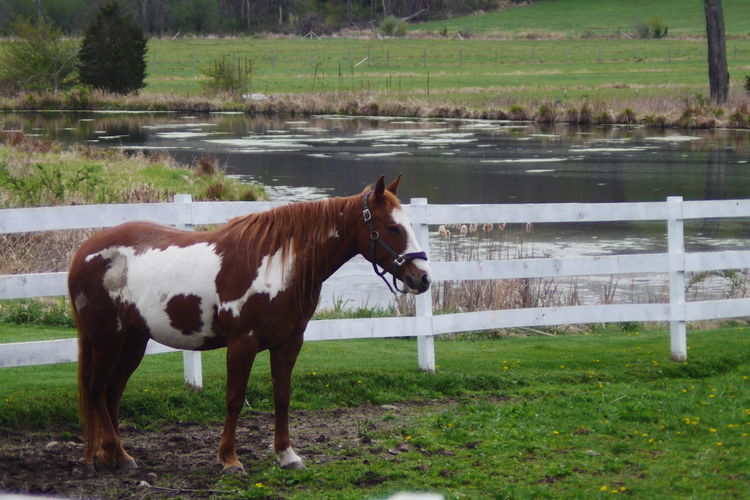 Horse in farmland. Animal Corral Day Farm Life Farmanimals Farmland Farmlandscape Fence Horse Mammal Nature No People Outdoors